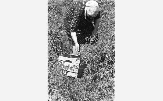 007_Loconsolo_1971 Raccoglitrice di pomodori.jpg