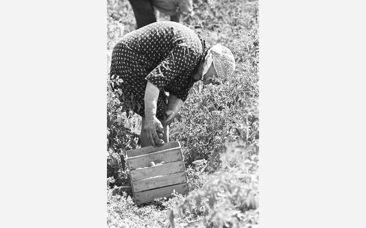012_Loconsolo_1971 Raccoglitrici di pomodori.jpg