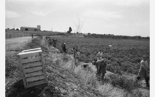 Loconsolo_1971 Raccoglitrici di pomodori