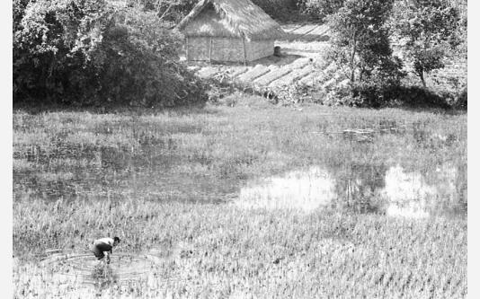 Loconsolo_1977 Vietnam, contadino, risaia