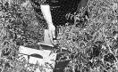 Loconsolo_1971 Raccoglitrice di pomodori